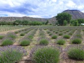 Abiquiu Lavender Farm